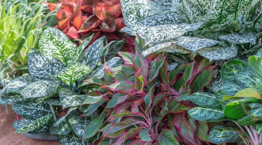 aglaonema chinese evergreens of many kinds in a flower bed
