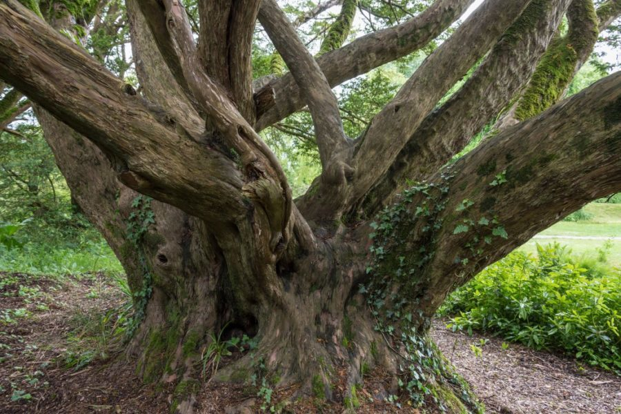 An ancient English Yew Tree - Taxus Baccata in woodland in Ireland