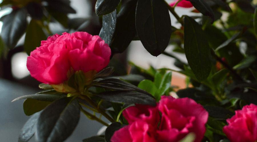 azaleas indoors christmas plants
