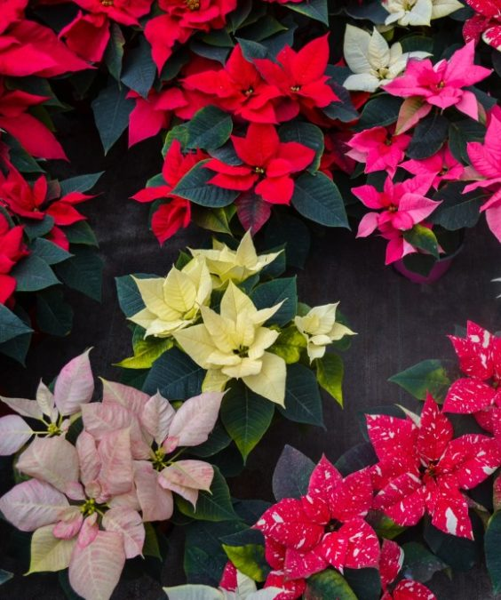 poinsettias in every color and shape for sale