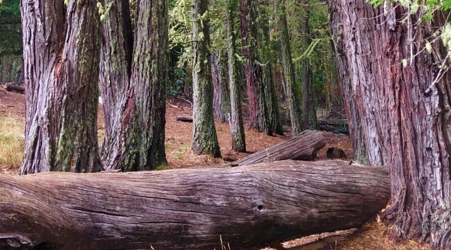 Incense cedar grove, Haleakalā National Park
