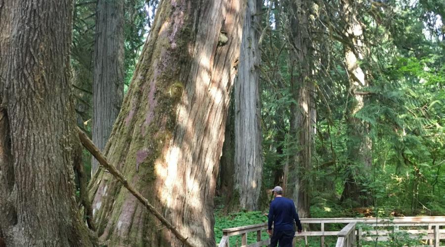 Western red cedar trees in Mount Rainier national Park