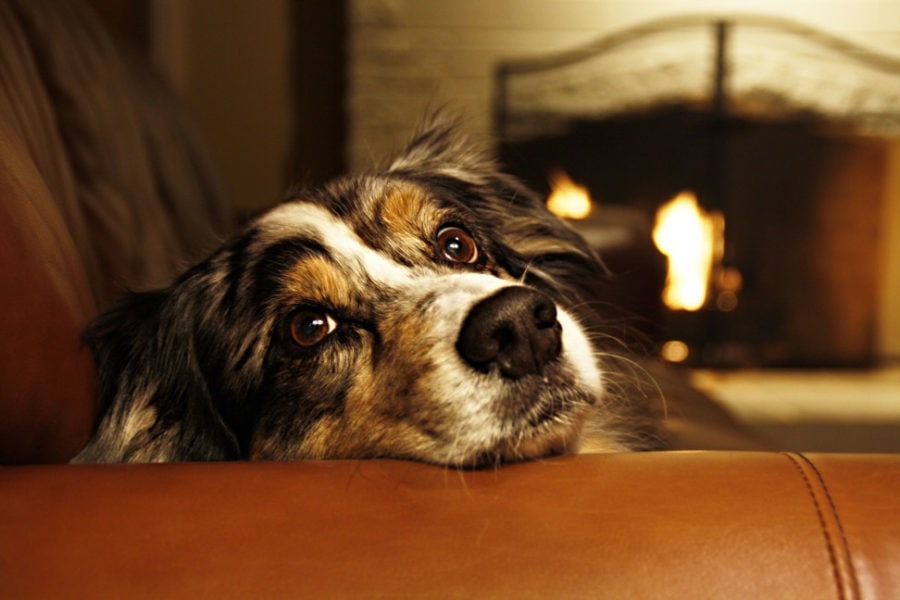 winter, brown, indoors, dog, animals, blanket, puppy, fire, holiday, sweet, pet, fireplace, eyes, happy, comfy, australian shepherd, aussie, sofa, warm, couch, snuggle, cozy