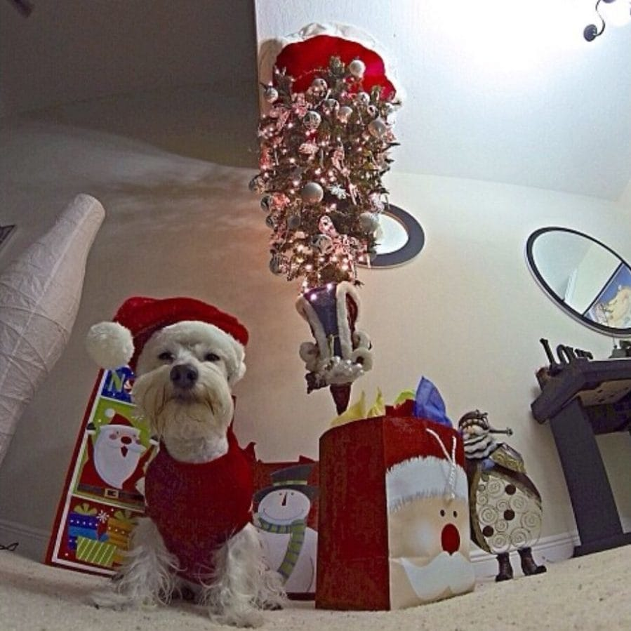 dog in santa suit with upside down tree fisheye lens