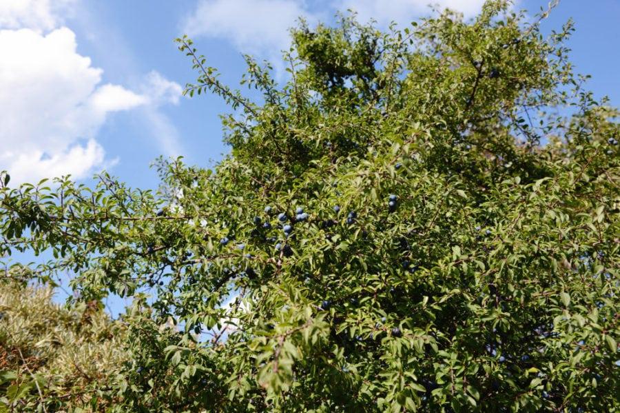 fruit of Blackthorn (Prunus spinosa)