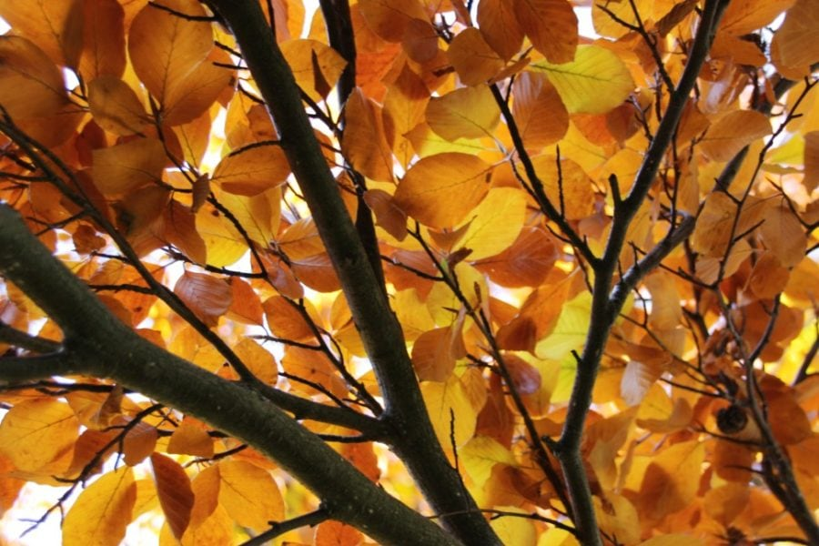 Glowing orange autumn fall beech leaves filling the frame, halloween, beech, forest, glow, nature, outdoor