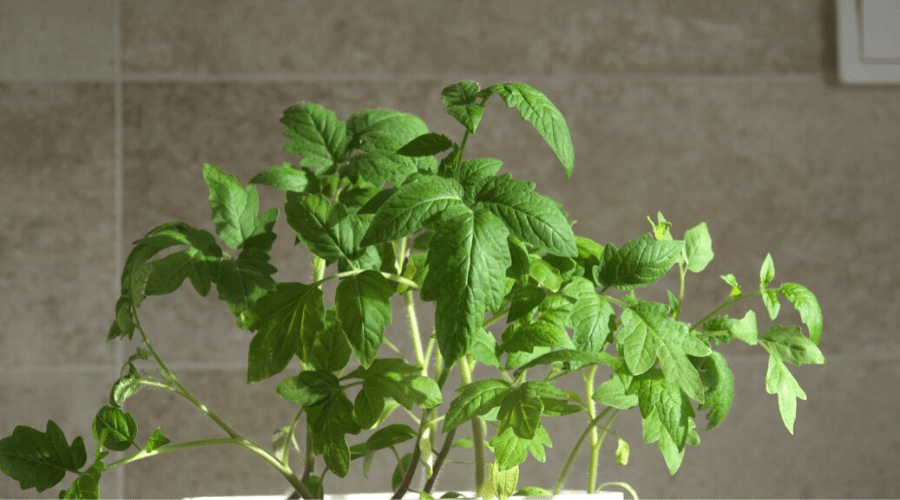 grow vegetables in winter tomato indoors