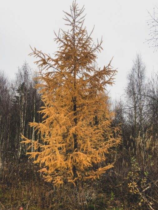 larch tree in fall yellow foliage softwood
