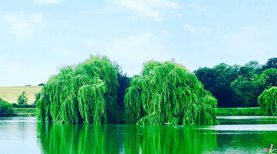 many types of firewood willow trees on a lake in summer