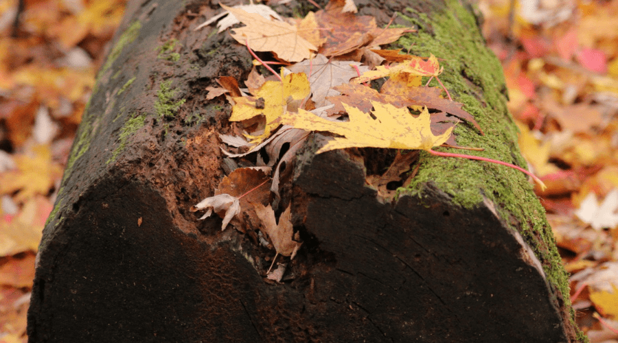 Colourful autumn leaves fallen on deadwood log in forest vertical orientation perspective angle