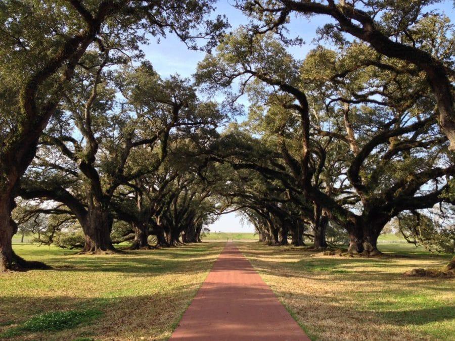 oak trees lining a path