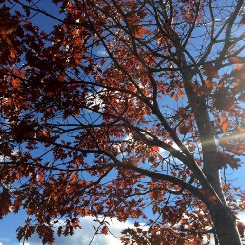 red oak tree in autumn from below