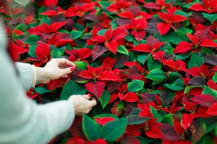 a woman with red nails looking at poinsettias for sale