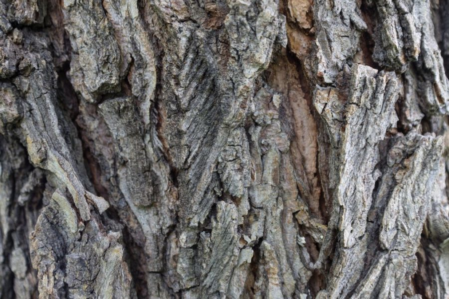 Texture of Elm tree bark with cracks and growths close-up