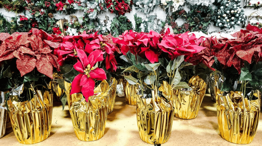 traditional christmas plants header poinsettias in gift wrap