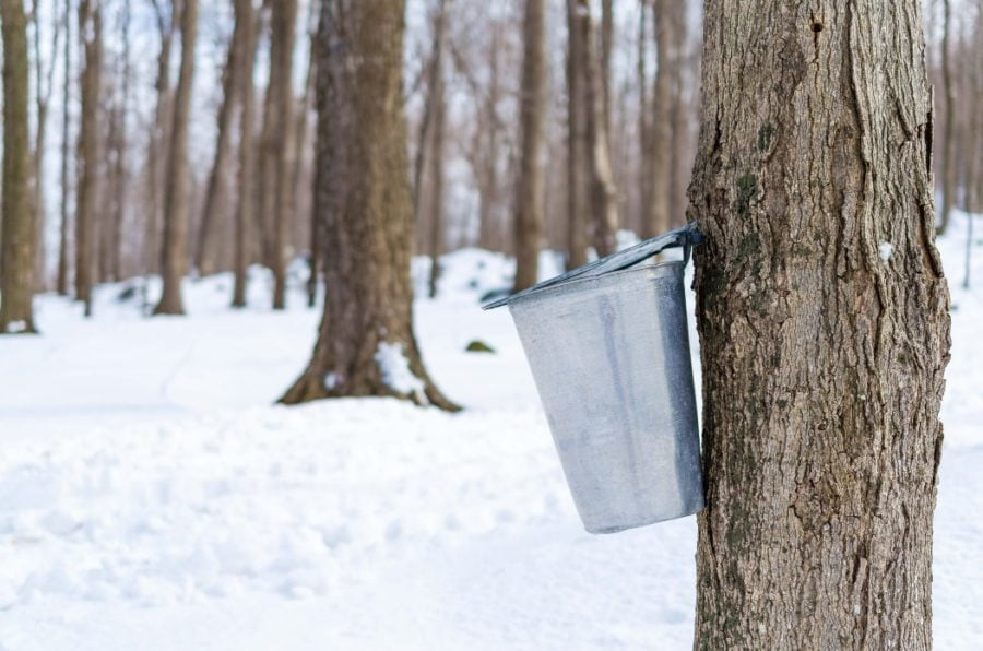 maple sap and resin content a maple tree with tap and pail for sugar syrup collection