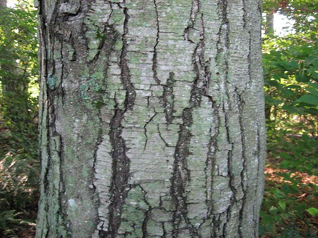 Black birch tree closeup of mature bark.