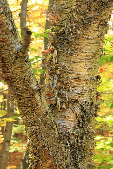 Yellow birch (Betula alleghaniensis) with peeling bark along the Frank Gantz Trail, Monroe County, within Gouldsboro State Park.