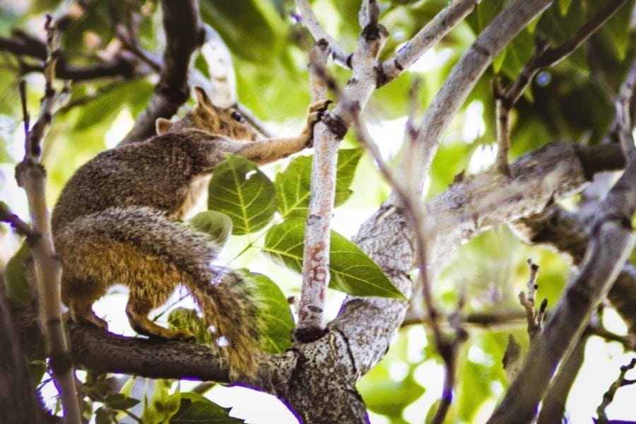 A fox squirrel standing on his hind legs, using a tree branch to balance during a morning climb for food.