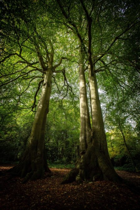 beech trees from below tall forest spring