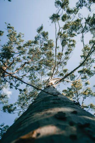 eucalyptus tree looking up