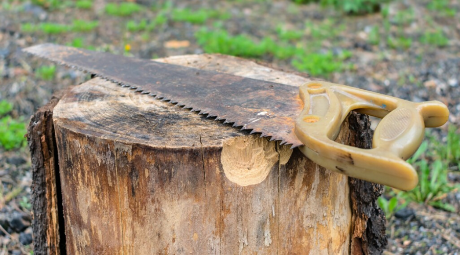 an elm stump and old saw outdoors elm firewood splitting