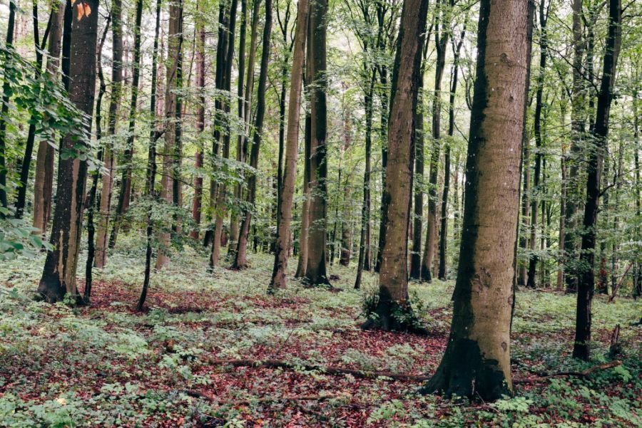 European beech, Fagus sylvatica, woodland in Rugen Island. Germany.