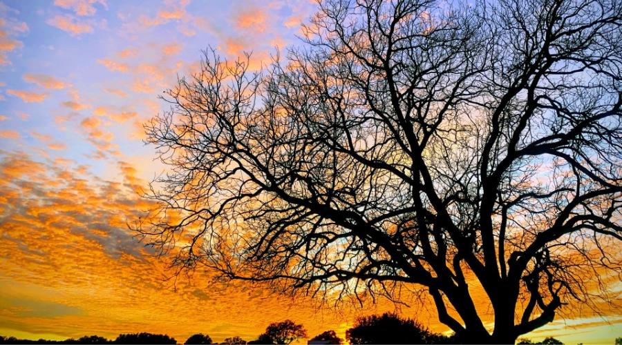 pecan tree silhouette winter