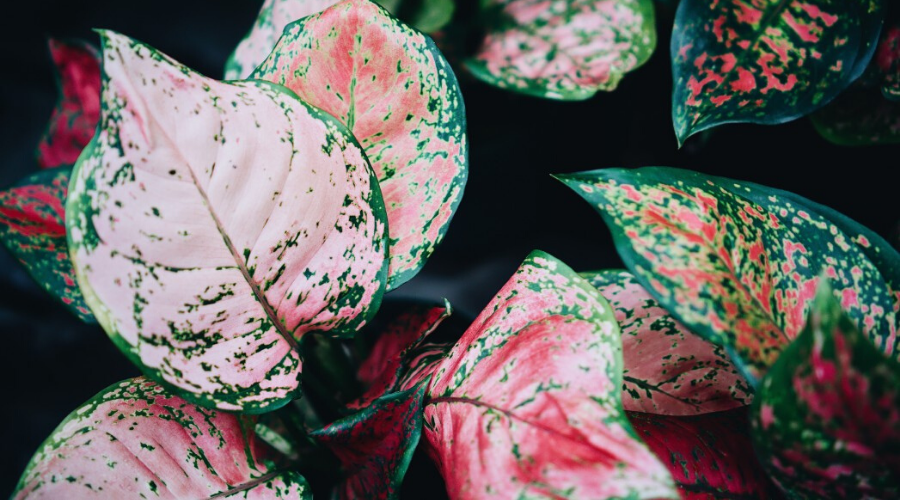 pink houseplant guide closeup foliage plant leaves