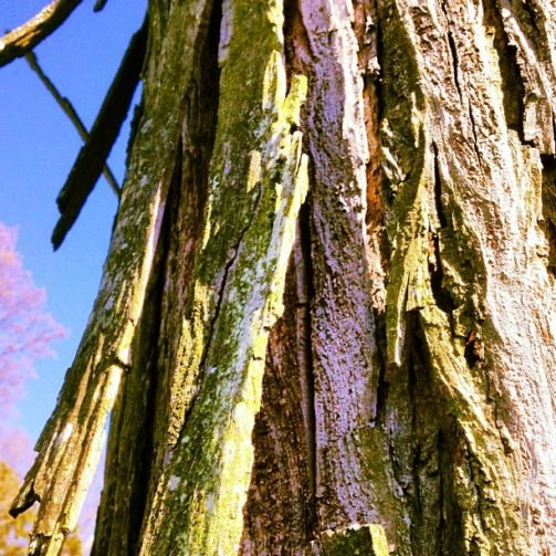 Shagbark hickory. Amazing tree not encountered every day.