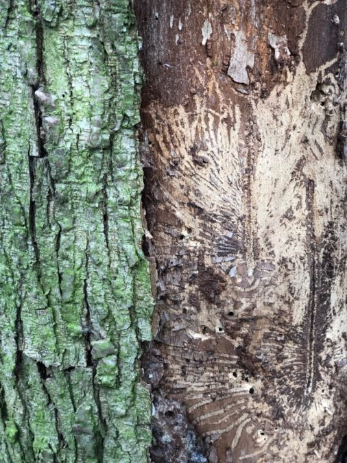 dutch elm disease tree closeup elm tree bark diseased