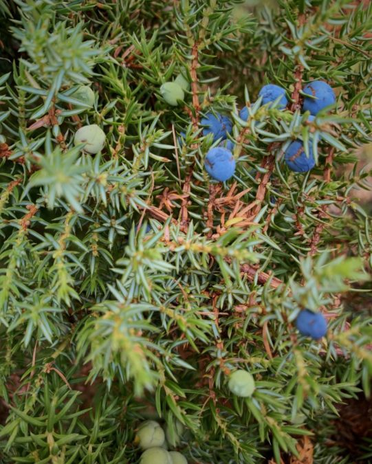 Blue berries of juniper