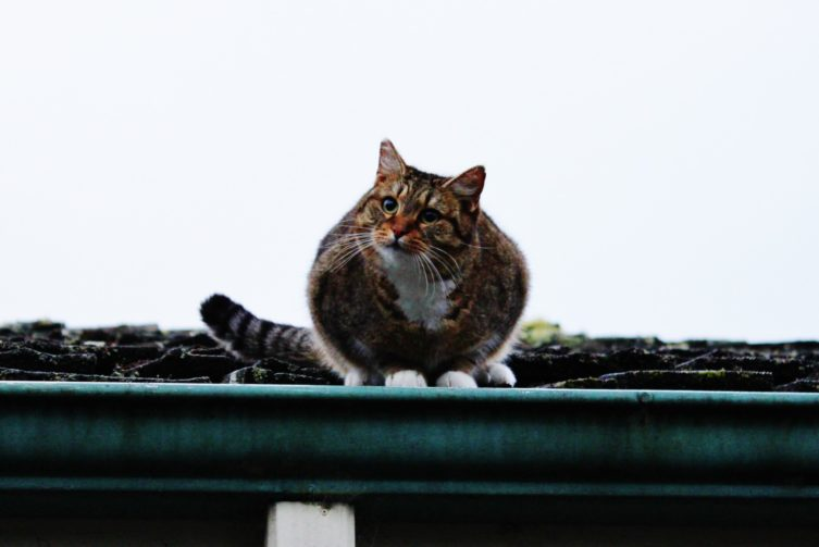 cat in gutter on roof