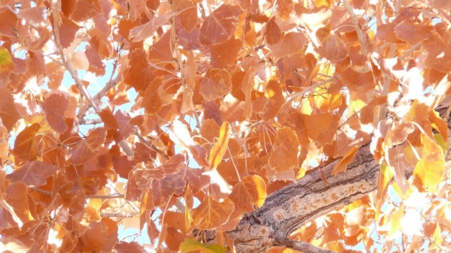 Fall Foliage of Cottonwood Tree at Apache Bird Refuge near Socorro, NM.