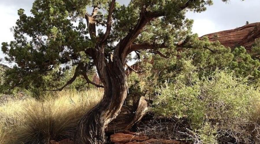 juniper growing near home firewood guide