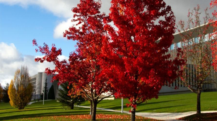 American Sweetgum tree in bright red during the fall