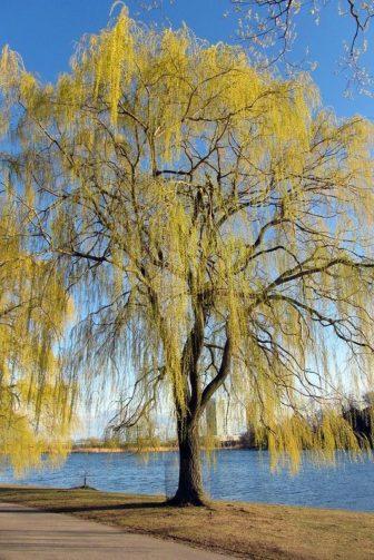 Weeping Willow tree beside Grenadier Pond, High Park, Toronto.
