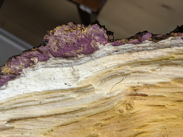 mulberry firewood cross section closeup of bark and interior color