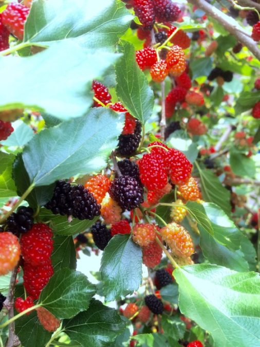 mulberry tree with fruit berries and foliage for identification