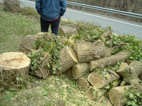 Unseasoned mulberry firewood in a pile outdoors