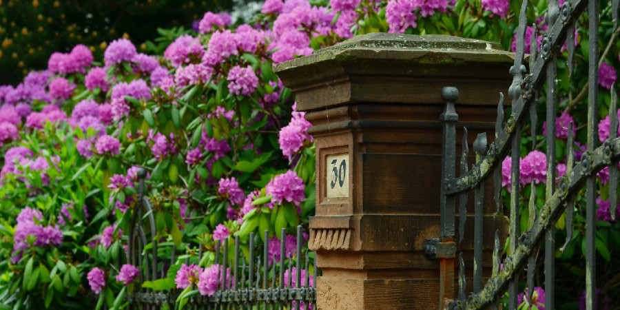 Rhododendron plants gathered around a front entry post