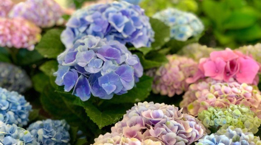 Hydrangea flowering bush