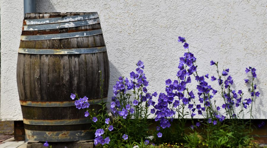 Old wooden rain barrel with pink flowers growing next to it.