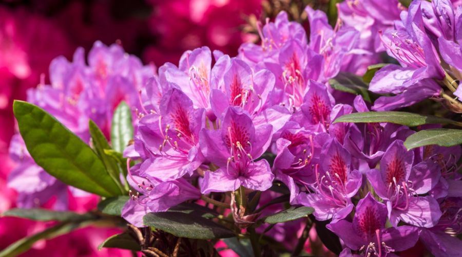 Purple rhododendron bush with pink background.