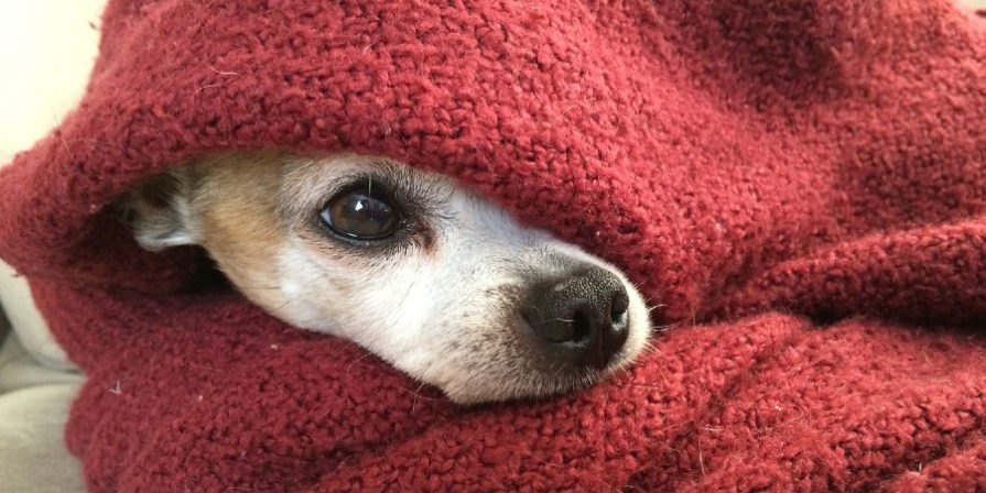 Dog snout and one eye peaking out of a cozy red blanket.