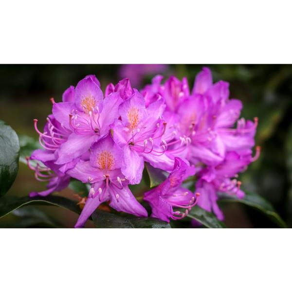 Rhododendron Plants from Home Depot