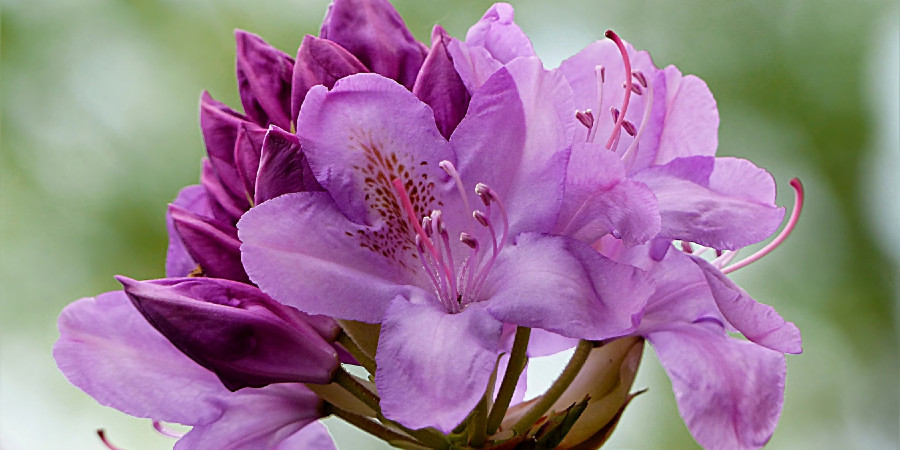 close up of light purple rhododendron flowers