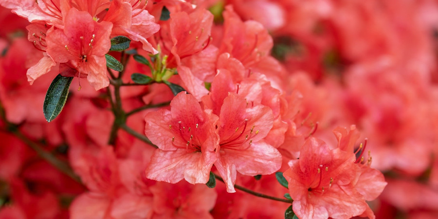 Close up of red azalea flowers