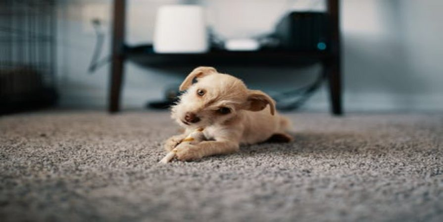 Puppy laying on carpet flooring
