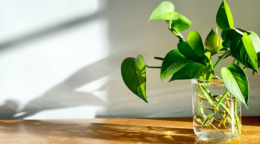 Pothos cutting in glass vase standing on a wooden table.
